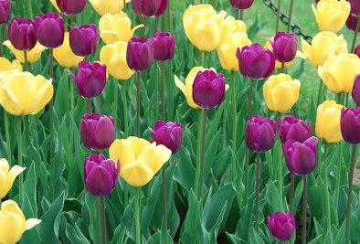 yello-and-purple-tulips-studio-9-w394-o